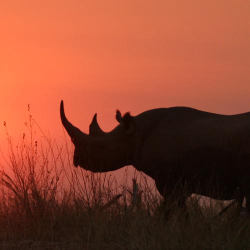 rhinosunset
